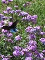 Pipevive Swallowtail 2 by hclausen