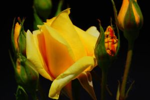Yellow Rose by MrJohnny68