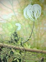 Faded Clematis by AlisonHill