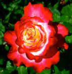 Sun Colored Rose by CatherineAllison