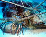 Caribbean spiny lobsters at home by g--f