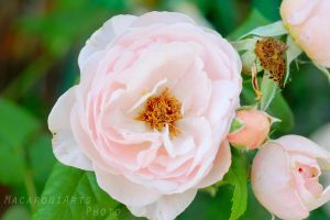 Pink Roses - Summer 2015 by thebreat