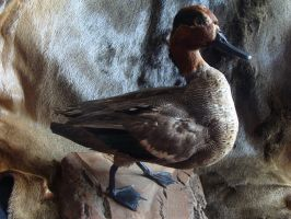 Common Teal restoration by Lot1rthylacine