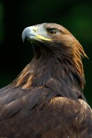 Golden Eagle Portrait by Carlroberts99