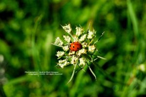 Lady Bird by andreiciungan