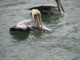 Lunch Time for Pelicans by ariisu9