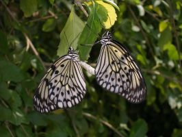 Monarch Butterflies, Aruba 2 by BretWalda1X