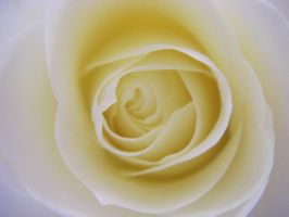 White rose by eline-w