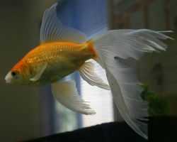 gold fish or mermaid tail 19 by scratzilla