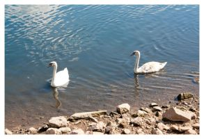 Reservoir Swans by Android18a