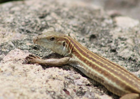 Whiptail by InfinityandOne
