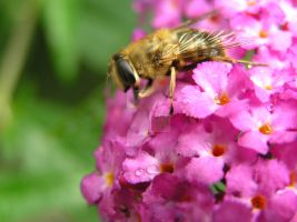 Bee 03 July 2015 (2) by 69raywwf