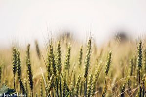 In The Wheat Field by JeneeMathes