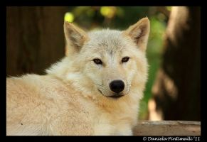 Arctic Wolf Portrait II by TVD-Photography