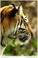 Thoughtful Tigress by In-the-picture