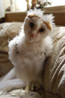 BARN OWL BABY STOCK 2 by Theshelfs