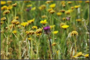 wild flowers 14, Palestine by Middle-East-Photogra