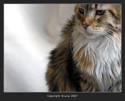 Lula Lilu - maine coon cat by Radetzky