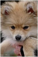 Orion the Pomeranian by lizzys-photos