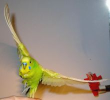 Budgie in flight 8 by greencheek