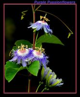 Purple Passionflowers by boron