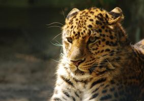 Leopard by jvg2