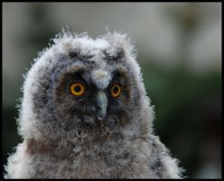 baby owl by morho