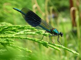 Damselfly by Sophie4120