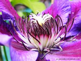 Purple Clematis Macro by printsILike