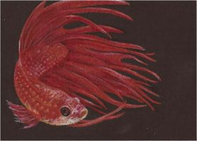 Betta ACEO by whitetippedwaves