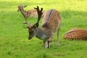 Fallow Deer 2 by landkeks-stock