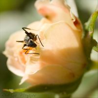 Ant on Rose II by ironmanbr