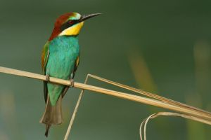 bee-eater by nakitez