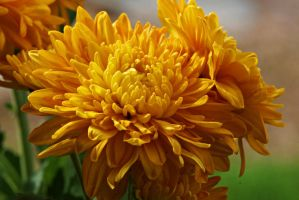 Yellow Chrysanthemum flowers II by a6-k