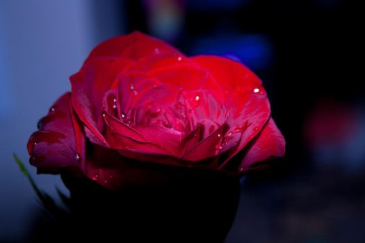 RoseRed2 by Xerophaze