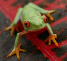 Red eyed tree frog V6 by AngiWallace