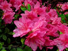 Fresh Rain. Fresh Flowers. by SharpPhotoStudio