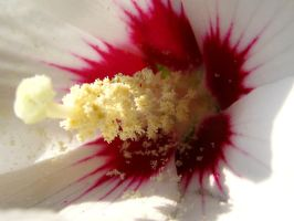 White Hibiscus by Formel