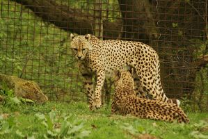 leopards by marob0501