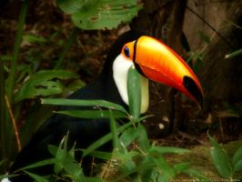 Toucan by BohemianHarlot