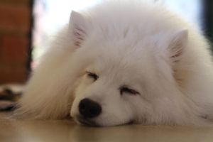 Japanese Spitz.. by helpmattgetphat