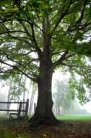 Foggy Tree by Noemy009