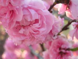 Pink Blossoms by bluebelle-88