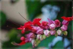Vine flowers in Cuba by xpsuedoxangelx