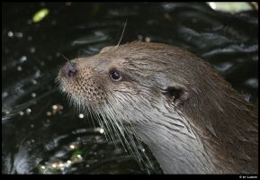 Otter face by Lunchi