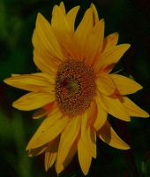 Sunflower by ximocampo
