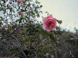 Wild Rose Alone Against The Sky by KittenDiotima