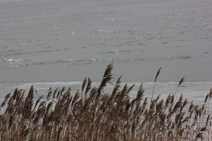 Rushes by a frozen Lake Mueritz by frits10a