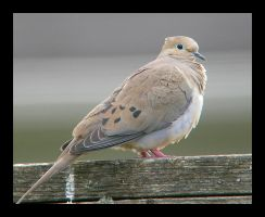 Mourning Dove by swashbuckler
