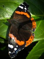 Red Admiral by iriscup